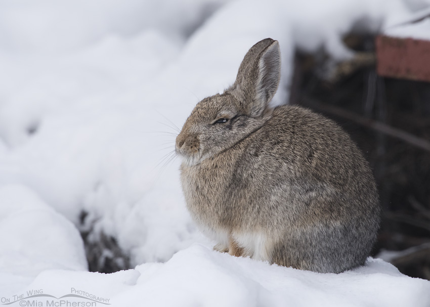 A Desert Cottontail on a snow drift