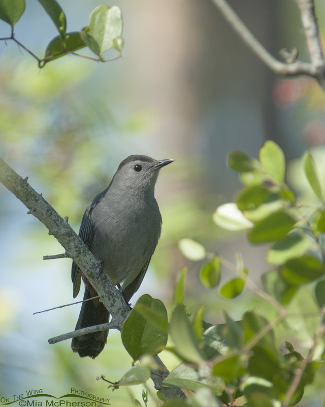 Gray Catbird in a Florida thicket