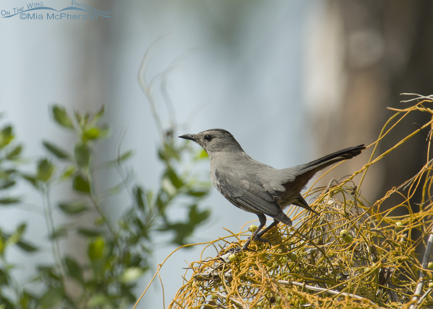Gray Catbird perched on Dodder
