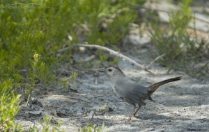Catbird on a trail in Florida