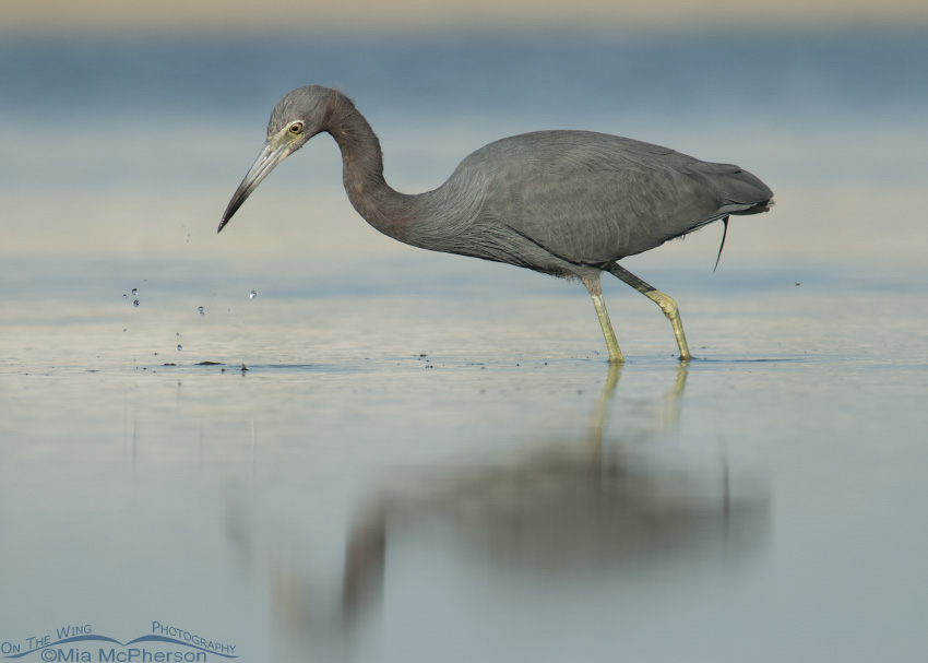 A Little Blue Heron searching for prey