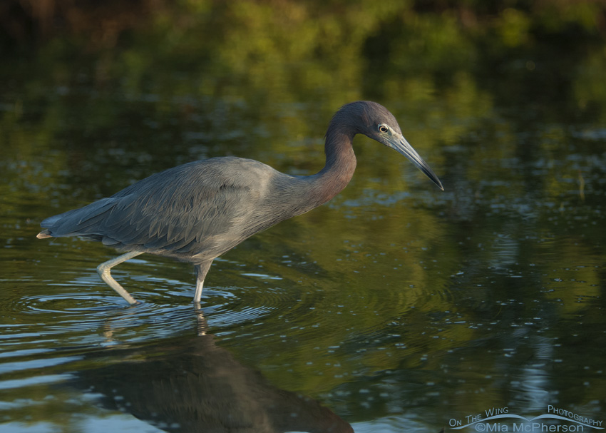 A Little Blue Heron stalking prey in a dark lagoon