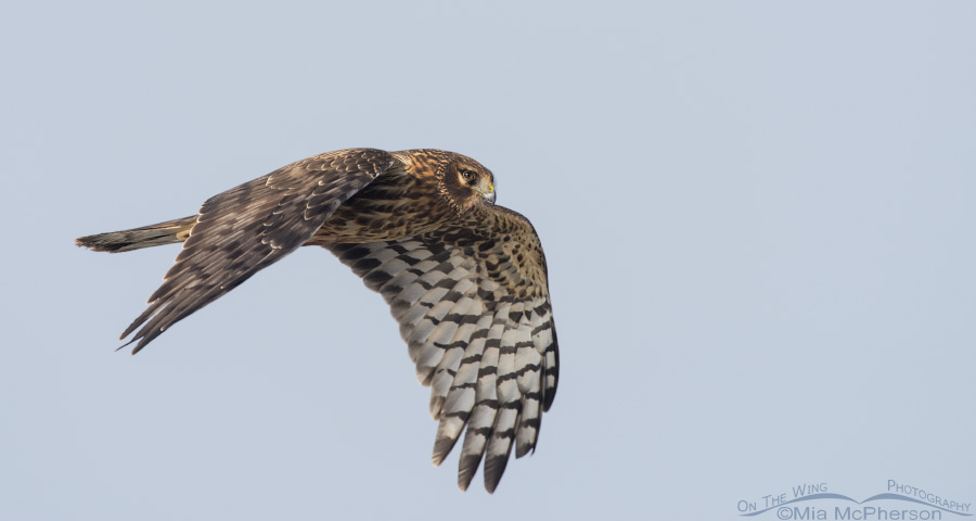 A pano of a female Northern Harrier in flight