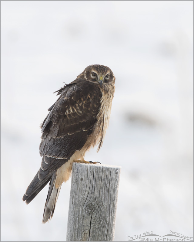 Frost covered juvenile Northern Harrier