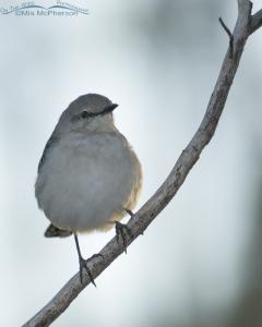 Back lit Northern Mockingbird