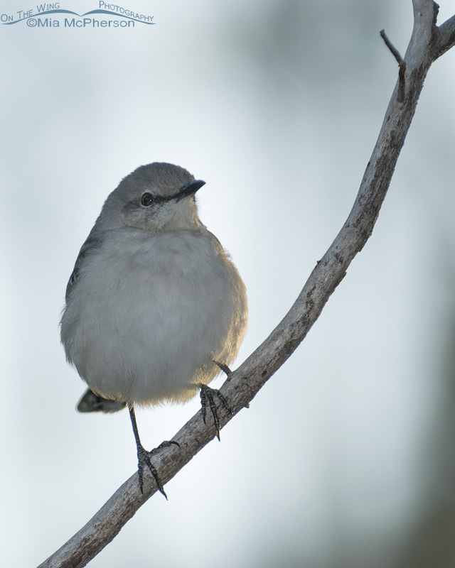 Back lit Northern Mockingbird