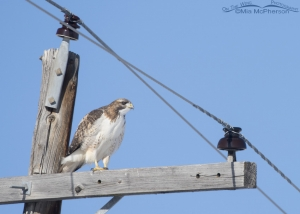 A Red-tailed Hawk perched on a power pole