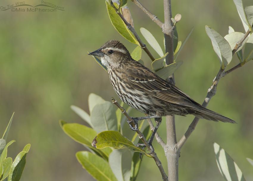 Female Red-winged Blackbird near her nest