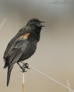 Young Red-winged Blackbird male singing