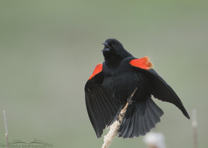 Low light male Red-winged Blackbird singing
