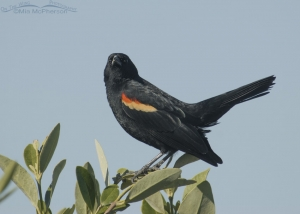 Red-winged Blackbird with a Don't mess with me look!