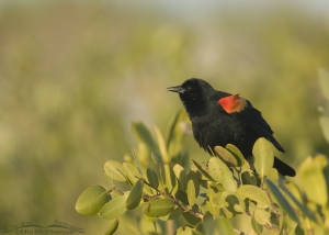 A Red-winged Blackbird glows in morning light