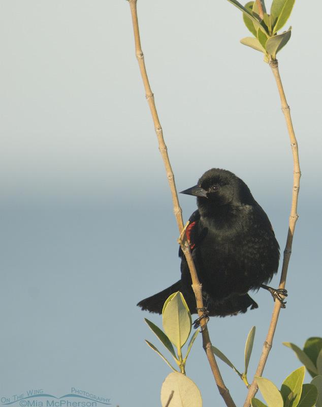 Spread-eagle Red-winged Blackbird