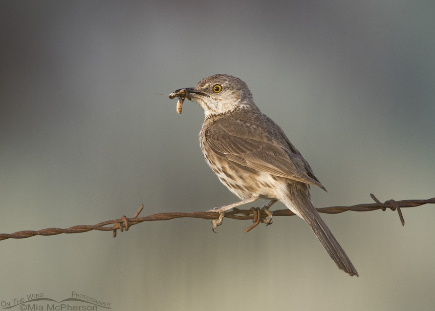 A Sage Thrasher and its prey