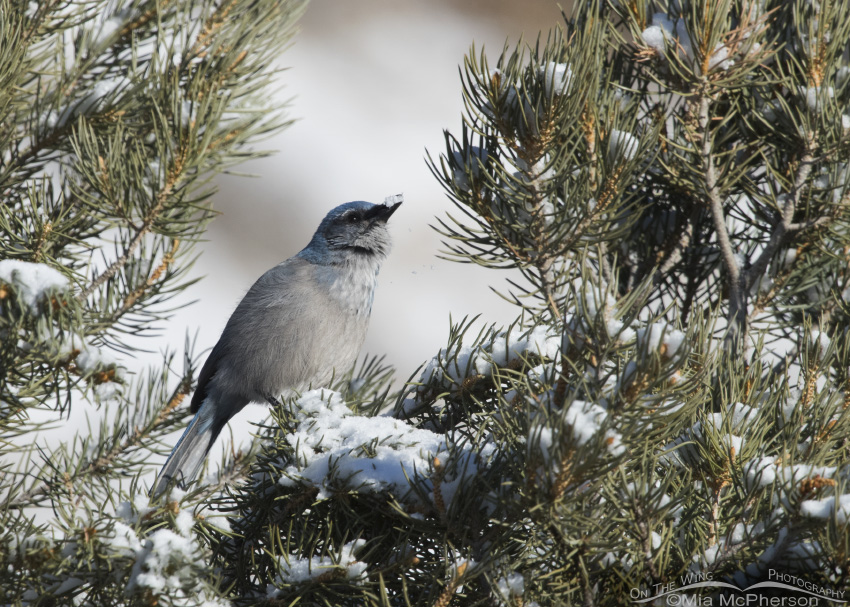 A Woodhouse's Scrub-Jay eating snow