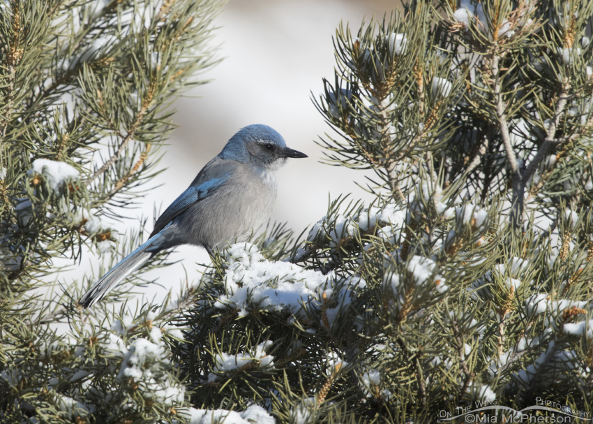 Woodhouse's Scrub-Jay perched on a snow covered Pinyon Pine
