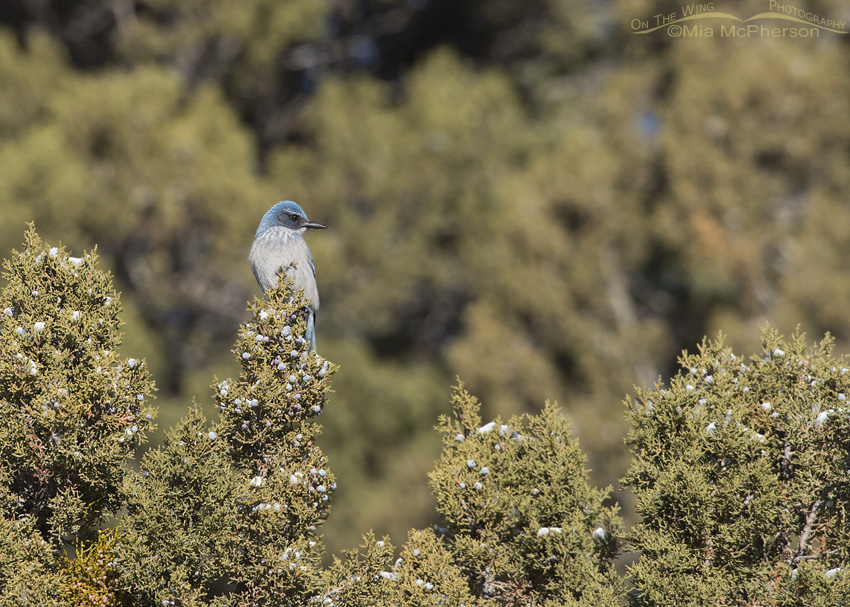 A Woodhouse's Scrub-Jay and Junipers