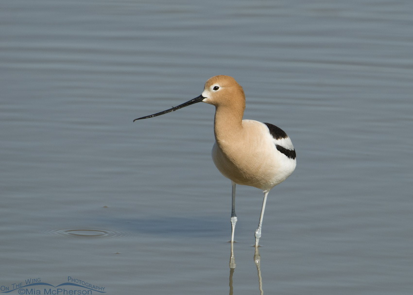 American Avocet with head on profile view