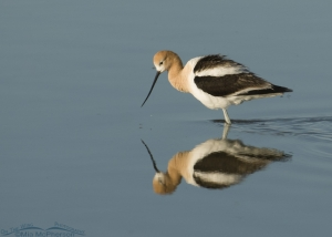 American Avocet in breeding plumage and calm water