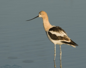 American Avocet with water droplets