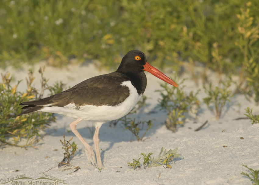 American Oystercatcher at sunset