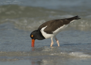 Adult Oystercatcher feeding on the shoreline