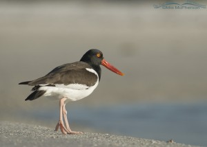 An Oystercatcher resting by a lagoon