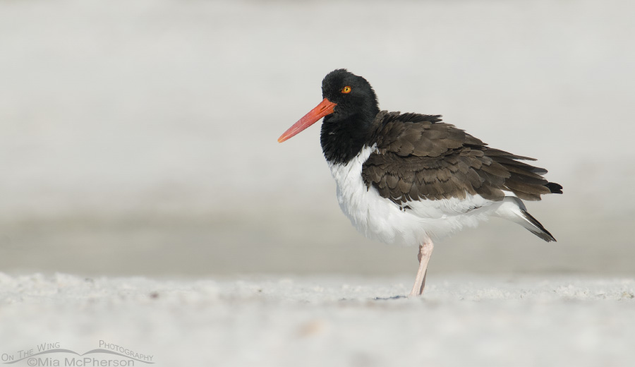 Fluffed up adult American Oystercatcher