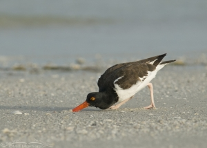 An American Oystercatcher digging up prey
