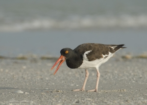 American Oystercatcher eating its prey