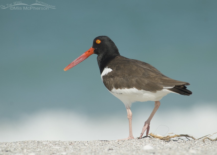 Adult American Oystercatcher on the beach of Egmont Key