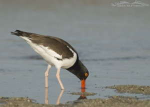 An Oystercatcher probing for breakfast
