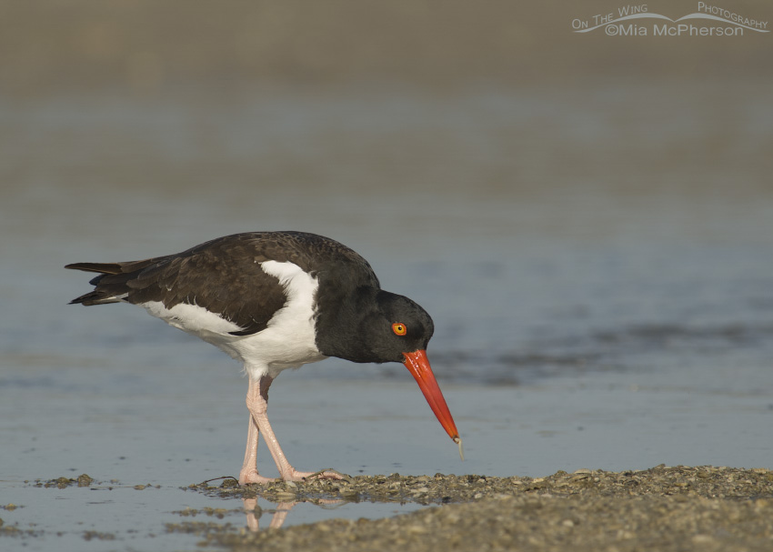 An American Oystercatcher with a tiny worm