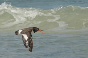 An American Oystercatcher flying along the crest of a wave