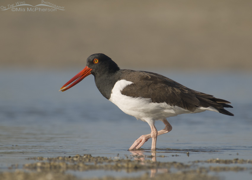 Oystercatcher with a Coquina at low tide