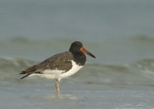 Juvenile American Oystercatcher and waves