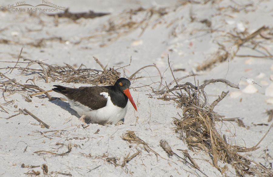 Oystercatcher on nest with eggs