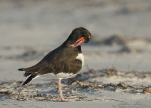 A preening American Oystercatcher at dawn
