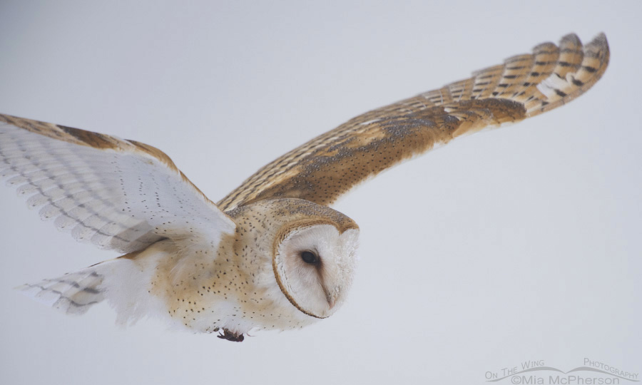 Fog and a Barn Owl in flight