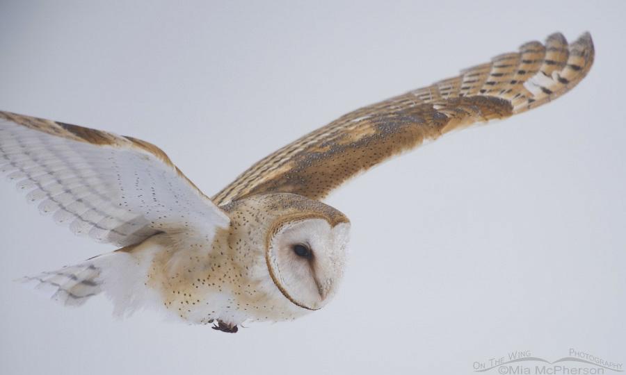 Fog and a Barn Owl in flight