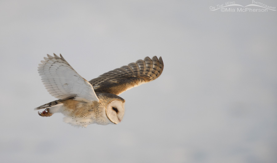 Snow covered mudflats and a Barn Owl in flight