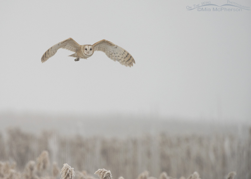 Barn Owl in thick fog at Bear River Migratory Bird Refuge