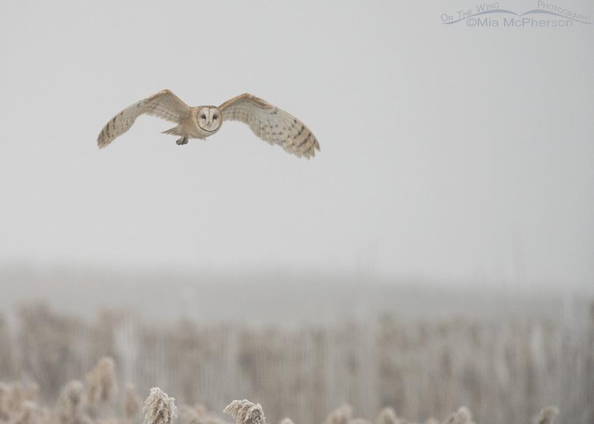 Barn Owl in thick fog at Bear River Migratory Bird Refuge