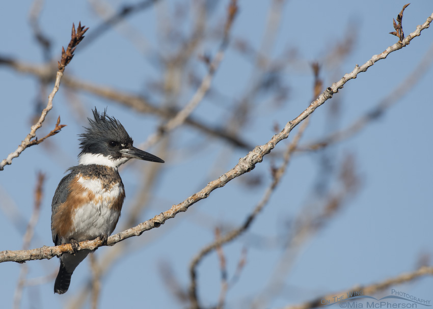 Perched female Belted Kingfisher