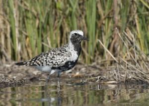 Male Black-bellied Plover in a marsh