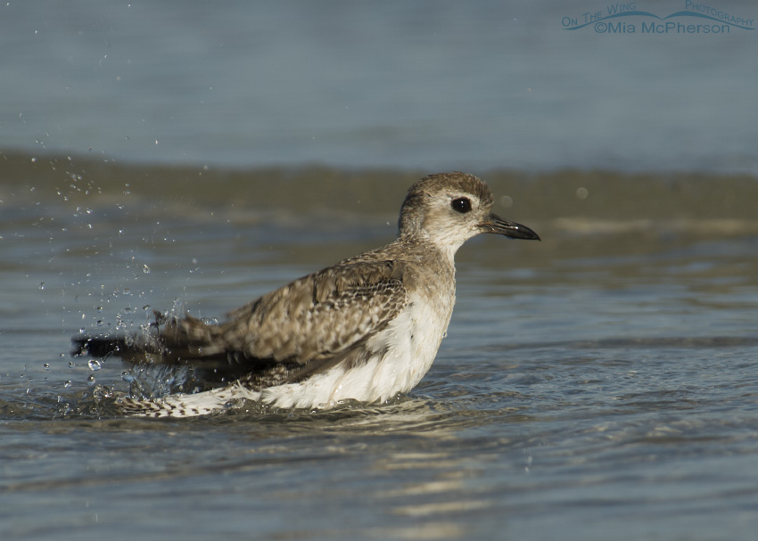 Black-bellied Plover bathing