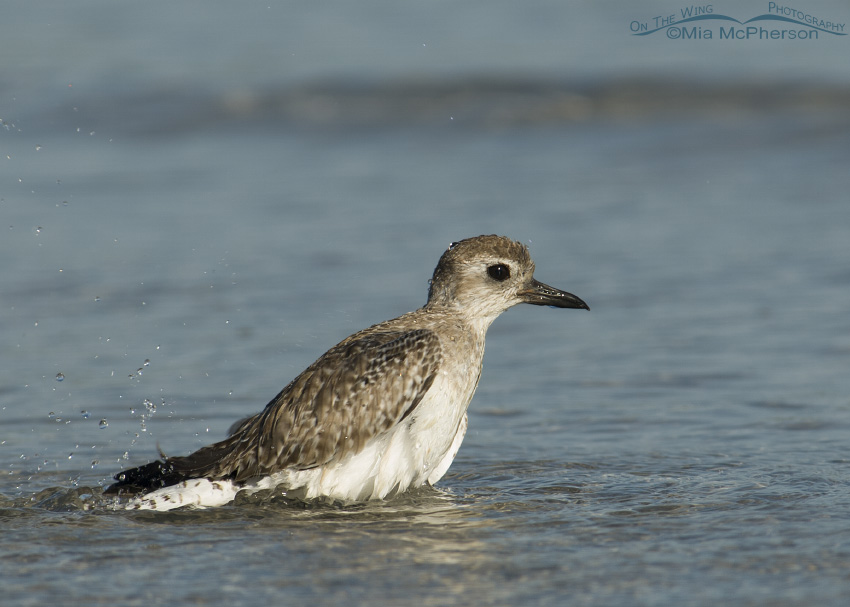 Bathing Black-bellied Plover
