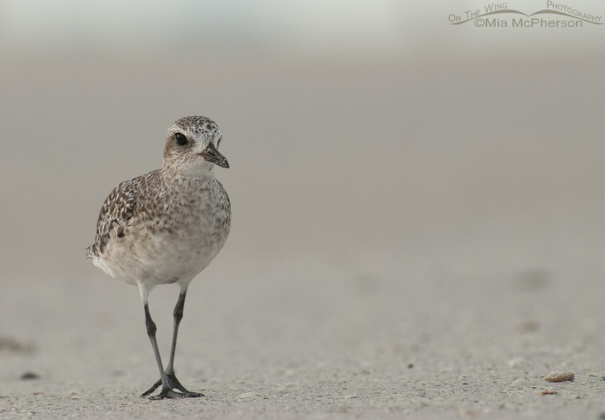 Foggy Black-bellied Plover