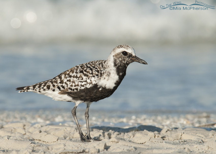 Black-bellied Plover on the Gulf shore