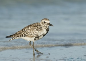 Black-bellied Plover on Gulf shoreline